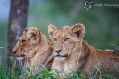 Brothers   #Africa #Wildlife #Lioncubs #Lion #Southafrica #Kruger #Wildlifephotography #Animal #Animalphotography #Panthera #Safari#Travel #Nature #Naturephotography #Wildanimal #Wildlifeprint #Print #Beautifulanimal #Animalkingdom #Animallovers #Africannature #Africanwildlife #beautyinnature #Brothers #Cub #Cat #Bigcat #Pantheraleo #Young