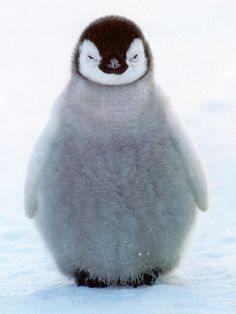 Here's One of My Favorite Animals Penguins !!!