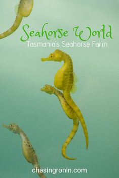 Touring Tasmania's Seahorse World at Beauty Point. Go behind the scenes and learn how they breed and raise seahorses. Seahorse Nursery, Baby Seahorse, Queensland Australia, Western Australia, Australia Travel, Nature Photography Tips, Ocean Photography, Seahorse Facts, Weedy Sea Dragon