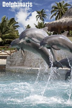 Cozumel Dolphinaris, I LOVE, LOVE, LOVE DOLPHINS! Want to swim with them one day. I had the opportunity to swim with them in mexico, but a storm came through and it was only 45 degrees, it was way too cold to get in the water.
