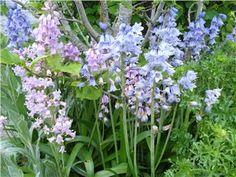 Spansk klockhyacint, lökar, blå, vit, rosa.