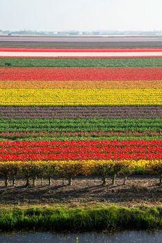Stunning Tulip Fields in Keukenhof, Netherlands