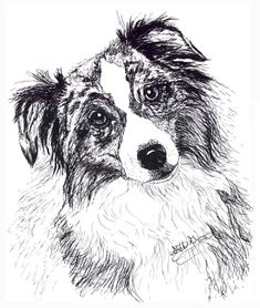 A pen and ink drawing of an an australian shepherd dog