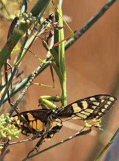 Macaone sardo -  - Papilio machaon Linnaeus, 1758 - Sui bordi dello stagno di Sale Porcus - costa sud/sud-ovest - Nikon D700 con Nikon 200/400mm f/4 - iso 400 - focale 400mm - 17 Aug. 2014 - #guidofrilli