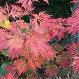 Acer japonicum 'Aconitifolium '