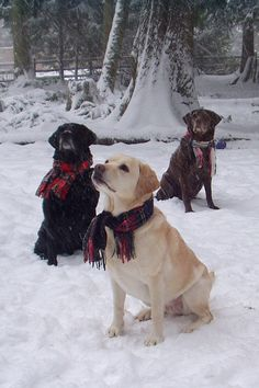 Three snow dogs! Yellow, Black and Chocolate Labs