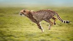 Kenyasafariholiday is a Tour operator which pride Luxury, smooth and flawless Kenya Tanzania safari holidays. Find holiday safari tour services with attractive packages. Motion Blur Photography, Cheetah Photos, Tanzania Safari, Your Spirit Animal, Cheetahs, Wild Dogs, Animals Of The World, Big Cats, Kenya