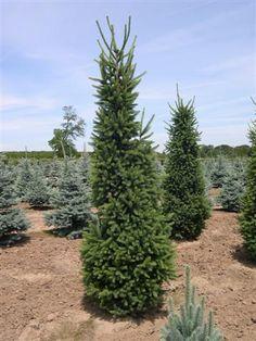 Well spire spruce