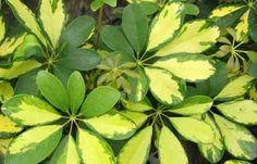 Cheflera - Schefflera arboricola