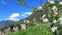 Apple Blossom in Merano, Northern Italy