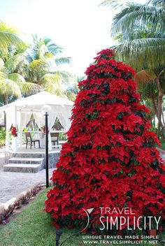 A Christmas tree made from Poinsettias in Mexico! Beautiful!