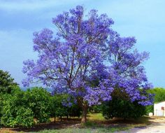 "Blue Jacaranda Tree. I will be planting a lilac bush at the new house, and plan on planting a LOT of these trees. They are the trees that dreams are made of... and if you've seen ""What Dreams May Come,"" you know how majestic their beauty is!!!"