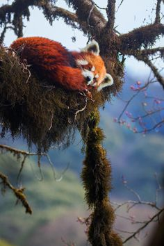 ed Panda & # s are the nicest animal in the world, who agrees? It is so sad this beautiful … – rare – Animals Nature Animals, Animals And Pets, Wildlife Photography, Animal Photography, Photography Tips, Landscape Photography, Beautiful Creatures, Animals Beautiful, Red Panda Cute