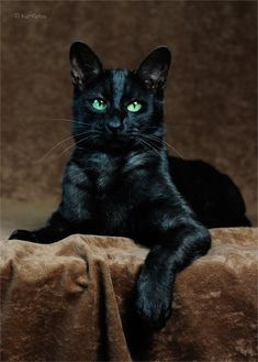 Stunning Black Cat ❤ Pretty Cats, Beautiful Cats, Cute Cats, Beautiful Pictures, Funny Kittens, Cats And Kittens, Black Cats, Black Velvet, Thunder