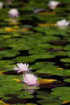 waterlily (like Monet)
