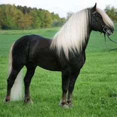 The most common coat color of the Black Forest Horse is dark chestnut and they have sand colored tail and mane. Most of them generally have a silver dapple.