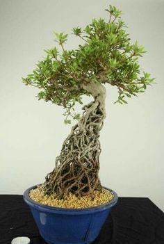 "In bonsai growing, the slanting style is one of several styles that are used to shape and ""train"" the bonsai tree. Small Trees, Miniature Trees, Japanese Tree, Ikebana, Japanese Plants, Azaleas, Houseplants, Bonsai Azalea, Plants"