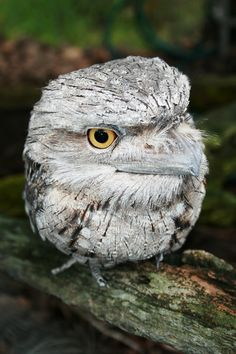 """This pin said """"Baby owl"""" but that's false, it's a tawny frogmouth but is often mistaken for an owl"""