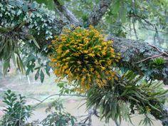 Acianthera sonderana - A  beautiful epiphytic orchid on a tree branch. Santa Catarina, Brazil; by claudinodebarba