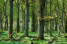 Oak Forest in the spring (Tromtö, Sweden)