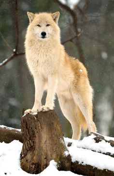 awesome white wolf