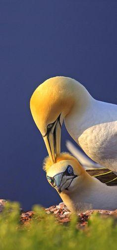 Australasian gannet (Morus serrator) - Muriwai Beach, Northland, New Zealand