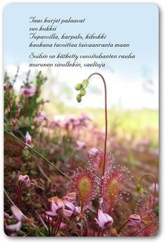 Kihokki-runokortti Finnish Words, Live Life, Poems, Thoughts, Quotes, Nature, Plants, Irene, Postcards