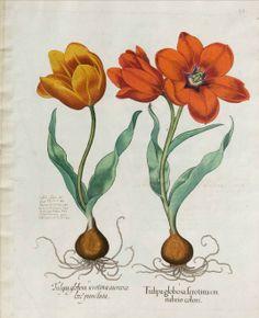 tulipa gesneriana - circa 1640