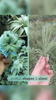 Air Plants, Garden Plants, Indoor Plants, House Plants, House Plant Delivery, Cactus, Plants Delivered, Inside Plants, Plant Care