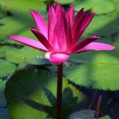 Pretty Beautiful Forest, Beautiful Flowers, Waterworks, Water Lilies, Flourish, Flora, Tropical, Stock Photos, Garden