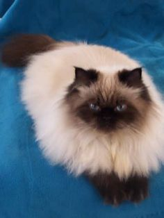 Seal Point Himalayan Cat | Seal Point