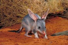 The hero of this story is the bilby, an endangered species in Australia. Bindee's original family are already extinct. They were 'Lesser Bilbies'. Burra Nimu, the Easter Bilby. Reptiles, Mammals, Araquem Alcantara, Easter Bilby, Animals And Pets, Baby Animals, Strange Animals, Small Animals, Australia Animals