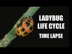 Your parents never warned you about ladybugs. Here's the uncensored truth, with crazy banjo music, in extreme close up HD time lapse vi. Extreme Close Up, Love Garden, Life Cycles, Vulnerability, Ladybugs, Youtube, Bright Yellow, Balayage Hair, Siblings