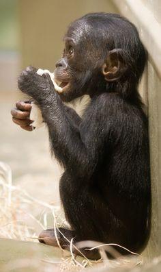 ~ Baby Bonobo ~