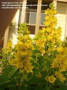 Yellow Loosestrife makes a beautiful yellow clump in my zone 5 garden.