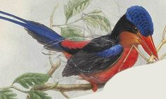 Kingfisher . There over 90 species of kingfishers in the world . Artist John Gould .