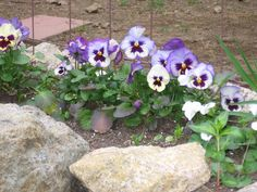i consider pansies a garden staple  - tons of colors, happy little faces! don't forget to dead-head!