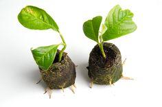 Inmultirea magnoliei prin butasi reprezinta un subiect foarte interesant in randurile iubitorilor de plante. Magnoliile ne infrumuseteaza fiecare inceput de primavara, prin inflorirea bogata si var… Ponds Backyard, Spring Is Here, Green Garden, Clematis, Ikebana, Vegetable Garden, Bonsai, Weed, Diy And Crafts