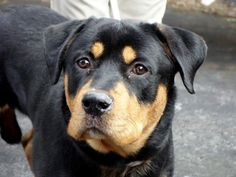 Beautiful Young Boy TO BE DESTROYED 1/15/14 MANHATTAN CENTER -P -My name is ROCKY. My Animal ID # is A0988705. I am a male black and tan rottweiler mix. The shelter thinks I am about 2 YEARS  I came in the shelter as a OWNER SUR on 01/02/2014 from NY 10458, owner surrender reason stated was MOVE2PRIVA.