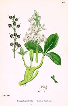 """Sowerby's English Botany - """"COMMON BUCKBEAN"""" - Hand-Colored Litho - 1873"""