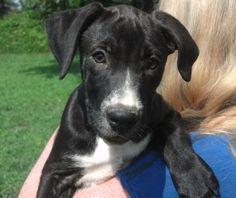 Labradane puppy Duke at 3 months old. Black lab great dane