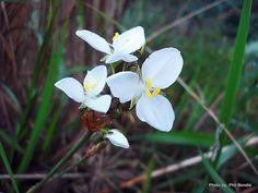 Taranaki Educational Resource: Research, Analysis and Information Network - Libertia grandiflora (New Zealand Iris) Research, New Zealand, Iris, Education, Garden, Plants, Search, Garten, Lawn And Garden