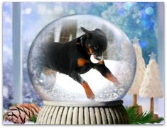 Rottweilers, Snow Globes, Home Decor, Decoration Home, Room Decor, Rottweiler, Home Interior Design, Home Decoration, Interior Design