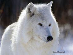 Consultório de Psicologia: O silêncio dos lobos