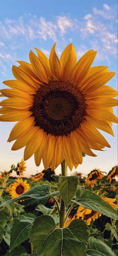 Sunflower Iphone Wallpaper, Wallpaper Nature Flowers, Flowery Wallpaper, Flower Phone Wallpaper, Wallpaper Backgrounds, Sunflower Photography, Nature Photography Flowers, Sky Aesthetic, Flower Aesthetic