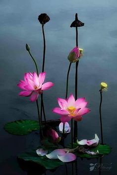 lotus flowers - the fallen petals resting of the surface of the water is really beautiful Water Flowers, Flowers Nature, Exotic Flowers, My Flower, Beautiful Flowers, Lotus Flower, Pink Lotus, Flowers Dp, Lilies Flowers