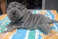 Gray Shai Pei puppy