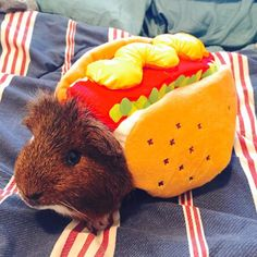 Guinea pig dressed as a hot dog!