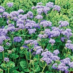 Get This For Back Of Garage Garden Hardy Ageratum Waiting Coupon Have Credit Spring Hill Nurseryperennial