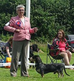 Sligo and District Canine Club 16/07/16 - Newtownards Open Show 18/07/16 - Luca D'An Naoned avec Dalmarno CJW16, CW16 Ir Jun Ch and  Ir Ch Jolie D'An Naoned pour Dalmarno AnCh 15, Jun Ch - Mrs Webster - See all the results : https://www.facebook.com/Elevage-dAn-Naoned-130170153403 #basset #bassetbleudegascogne #dogshow #hundeschau